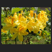 2014-05-16_Rhododendron_luteum_Goldpracht_1.jpg