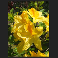 2014-05-16_Rhododendron_luteum_Goldpracht_3.jpg