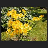 2015-05-22_Rhododendron_luteum_Goldpracht_1.jpg
