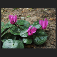 2013-07-12_Cyclamen_purpurascens.jpg