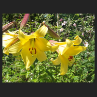 2014-07-04_Lilium_Royal_Gold.jpg