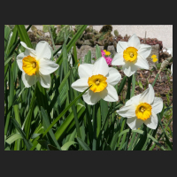 2015-04-21_Narcissus_Flower_Record_1.jpg