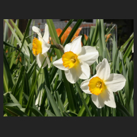 2015-04-21_Narcissus_Flower_Record_2.jpg