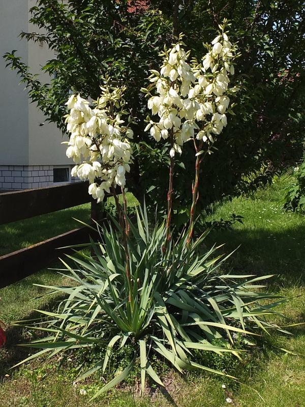 plantzone thema anzeigen yucca filamentosa palmlilie. Black Bedroom Furniture Sets. Home Design Ideas
