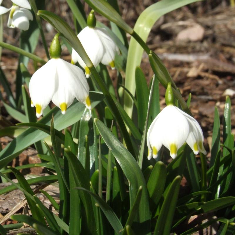 Erste Frühlingsboten im Garten und in Wald und Flur - Seite 2 2013-03-06_Leucojum_vernum