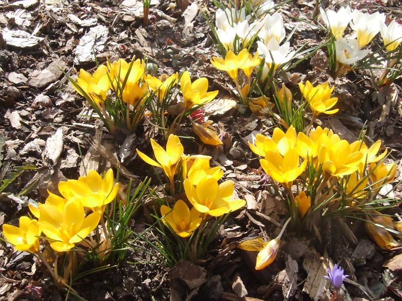 Erste Frühlingsboten im Garten und in Wald und Flur - Seite 5 2013-04-01_Crocus_chrysantus_Sunkist