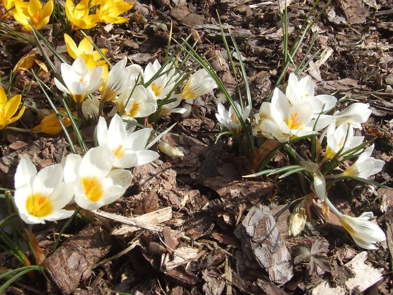 Erste Frühlingsboten im Garten und in Wald und Flur - Seite 5 2013-04-01_Crocus_sieberi_Bowles_White