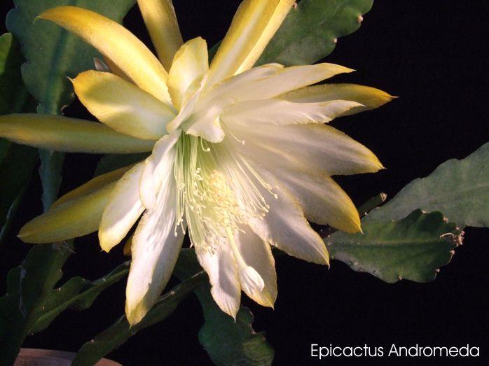 """Epiphyllum Blattkakteen Epicactus /""""Urwaldlicht/"""" Steckling"""
