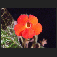 2013-08-26_Episcia_Tiger_Stripe_1.jpg