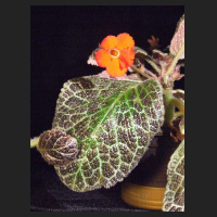 2013-08-26_Episcia_Tiger_Stripe_2.jpg