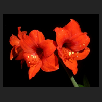 2013-09-02_Hippeastrum_Multiflora_Red.jpg