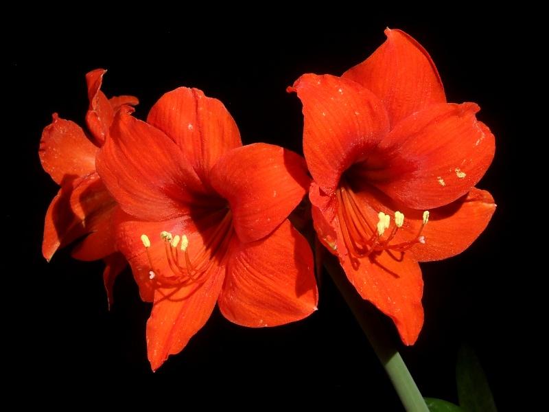 Amaryllisgewächse - Amaryllidaceae (Hippeastren, Nerine, Amaryllis, Agapanthus und auch Allium & Narzissen) - Seite 6 2013-09-02_Hippeastrum_Multiflora_Red